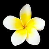 Fiore del Frangipani Fotografia Stock Libera da Diritti