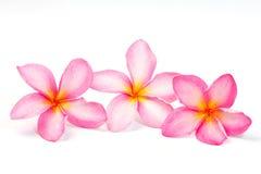 Fiore del Frangipani Fotografia Stock
