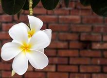 Fiore del Frangipani Fotografie Stock Libere da Diritti