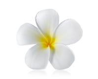 Fiore del Frangipani isolato su bianco Fotografia Stock