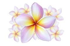 Fiore del Frangipani immagine stock libera da diritti