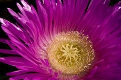 Fiore del fronte del maiale Immagine Stock
