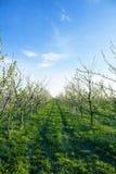 Fiore del frutteto della prugna un giorno soleggiato Immagini Stock