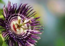 Fiore del frutto della passione Immagini Stock