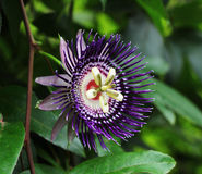 Fiore 2 del frutto della passione Fotografie Stock Libere da Diritti