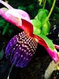 Fiore del frutto della passione Fotografia Stock