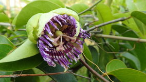 Fiore del frutto della passione fotografie stock
