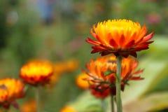 Fiore del fuoco Immagine Stock