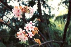 Fiore del fuoco Cherry Blossom o di Sakura Fotografie Stock Libere da Diritti