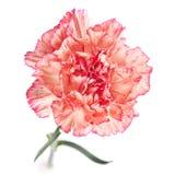 Fiore del garofano Fotografie Stock