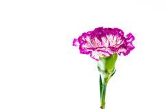 Fiore del garofano isolato su fondo bianco Fotografie Stock Libere da Diritti