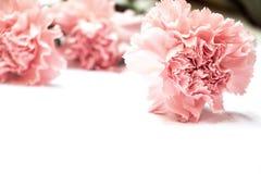 Fiore del garofano su fondo bianco con effetto Fotografie Stock Libere da Diritti