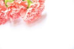 Fiore del garofano su fondo bianco con effetto Immagini Stock