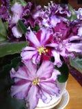 Fiore del gelato di Violet Leningradskoe fotografia stock