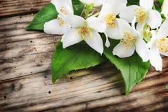 Fiore del gelsomino Fotografie Stock