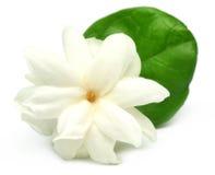 Fiore del gelsomino Fotografia Stock