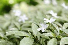 Fiore del gelsomino di crêpe di Gerdenia Fotografie Stock Libere da Diritti