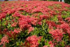 fiore del gelsomino di indiano ad ovest Fotografie Stock