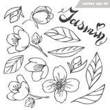 Fiore del gelsomino di vettore, germoglio ed insieme delle foglie illustrazione vettoriale