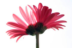 Fiore del gemello siamese Immagine Stock Libera da Diritti