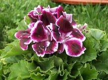 Fiore del geranio Fotografie Stock Libere da Diritti