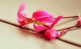 Fiore del geranio Fotografia Stock Libera da Diritti
