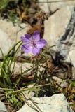 Fiore del geranio di Cranesbill del libanese sulla cresta delle montagne della riserva di biosfera di Shouf, Libano della sommità fotografia stock
