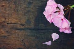 Fiore del geranio di Rosa Fotografia Stock