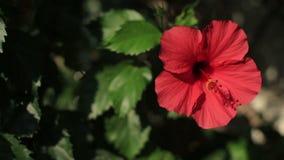 Fiore del geranio e primo piano rossi delle foglie di verde video d archivio