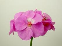 Fiore del geranio, pianta da appartamento Fotografia Stock