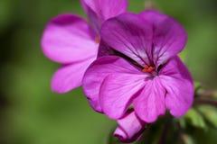 Fiore del geranio su verde fotografia stock libera da diritti