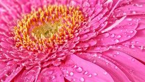 Fiore del Gerbera Immagini Stock Libere da Diritti