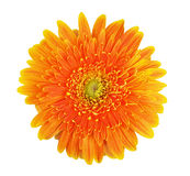 Fiore del Gerbera Fotografia Stock Libera da Diritti
