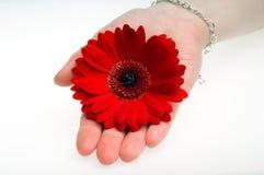 Fiore del Gerbera Fotografia Stock