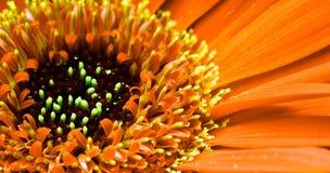 Fiore del Gerbera fotografie stock