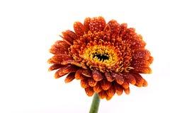 Fiore del Gerbera di autunno del Brown Immagine Stock Libera da Diritti