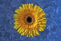 Fiore del Gerbera in ghiaccio immagine stock