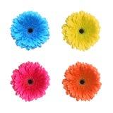 Fiore del Gerbera nei colori differenti Immagine Stock