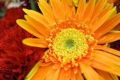 Fiore del Gerbera A si è chiuso sui dettagli del fiore giallo della gerbera fotografie stock libere da diritti