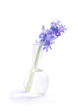 Fiore del giacinto in boccetta di vetro Fotografia Stock Libera da Diritti