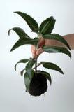 Fiore del giardiniere Immagine Stock Libera da Diritti