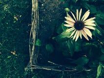 Fiore del giardino immagini stock libere da diritti