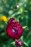 Fiore del giardino Fotografie Stock