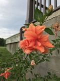 Fiore del giardino Fotografia Stock