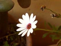 Fiore del giardino con i petali bianchi Immagini Stock Libere da Diritti