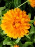 Fiore del giardino della calendula immagini stock libere da diritti