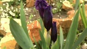 Fiore del giardino della primavera Fotografia Stock