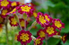 Fiore del giardino della primaverina Fotografia Stock