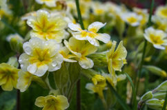 Fiore del giardino della primaverina Immagini Stock Libere da Diritti