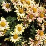 Fiore del giardino di Batu Fotografie Stock